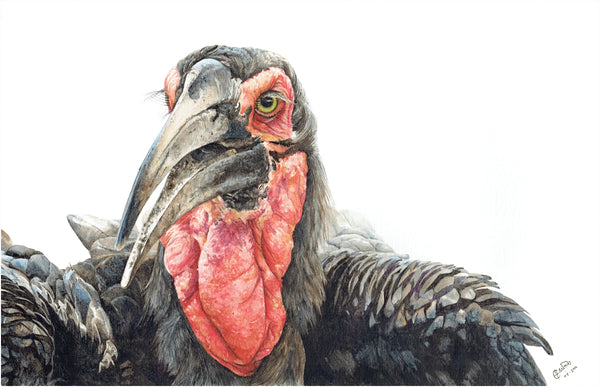 realistic watercolour painting of southern ground hornbill cape town artist