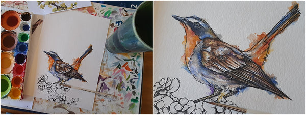 watercolour and pen cape robin-chat garden bird