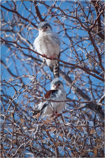 pygmy falcon male and female kgalagadi transfrontier park south africa