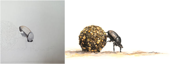 before and after of watercolour dung beetle painting