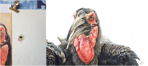 before and after of watercolour southern ground hornbill painting