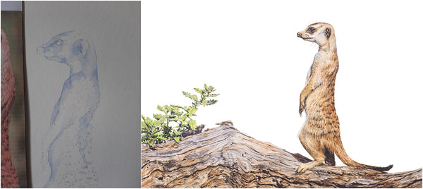 before and after of watercolour meerkat painting