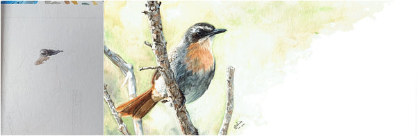 before and after of watercolour cape robin-chat painting