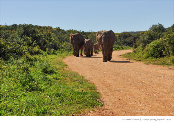 Elephant herd in Addo South Africa