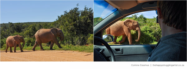 Elephant herd close to car in Addo South Africa