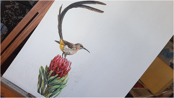 sweets for my sweet watercolour painting sugarbird and protea cape town