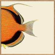 Orange Fish Tail