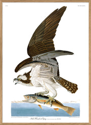 Fish Hawk or Osprey