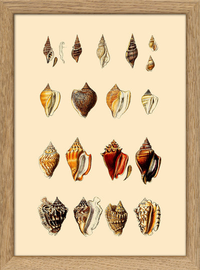 Sea Shells. Print #RC048