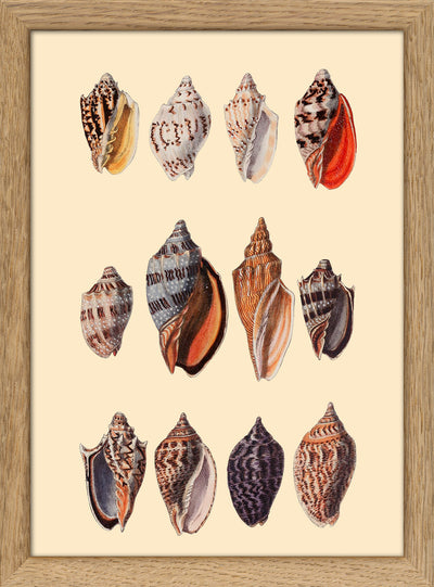 Sea Shells. Print #RC055