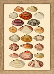Sea Shells. Print #RC056