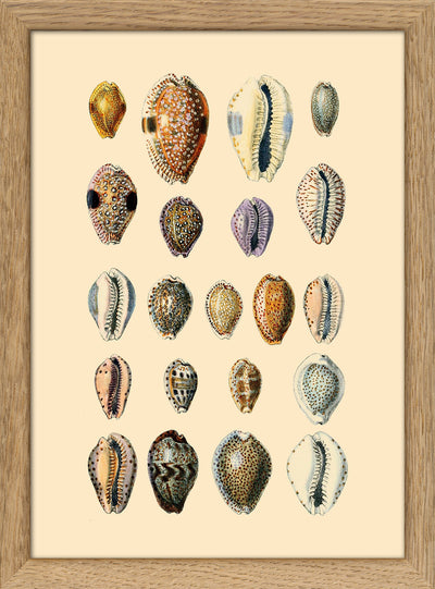 Sea Shells. Print #RC060