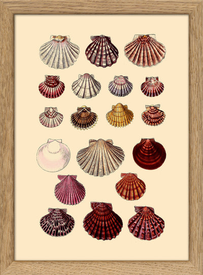 Sea Shells. Print #RC061