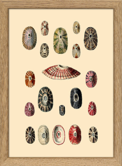 Sea Shells. Print #RC063
