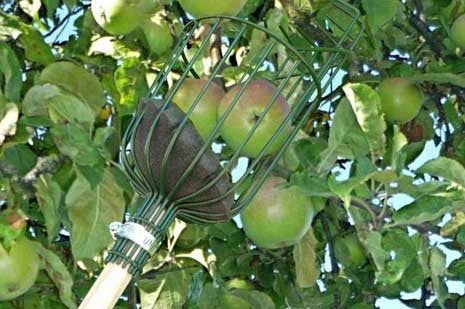 Epleplukker (Apple Picker)