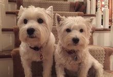 Boaty & Cooper - West Highland Terriers