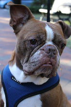 Tybee - Boston Terrier/English Bulldog Mix