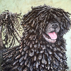 Gus - Portuguese Water Dog