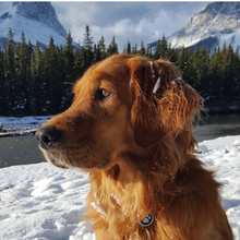 Winston - Golden Retriever