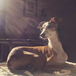 Summer - Italian Greyhound