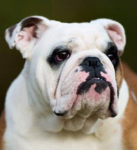 Ollie - English Bulldog
