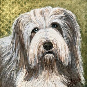 Woody -  Bearded Collie