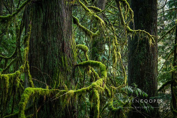 Detail of a tree within a British Columbian old growth forest. It has moss-covered, curved branches resembling an embrace.
