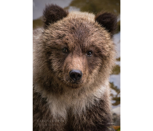 Portrait of a grizzly bear cub shyly looking into the camera