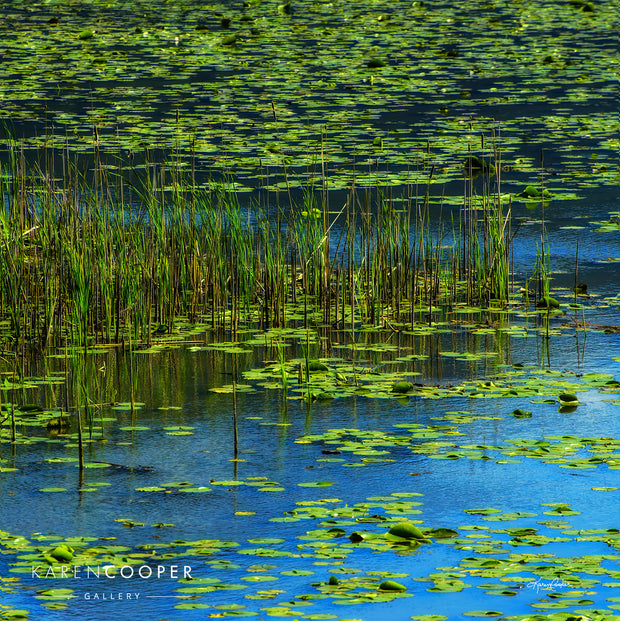 Detail of a wetland covered in large patches of emerald green lily pads and tall grasses. Blue sky is reflect in the still waters  in British Columbia