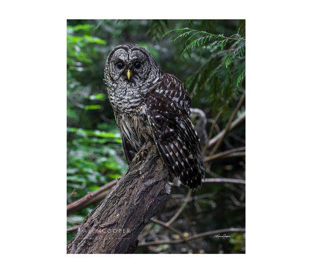 Fine art luxury nature landscape contemporary photography by Karen Cooper Gallery Detail of a small, barred owl  on a tree branch with their mating partner just visible in the background in a green forest in British Columbia Canada