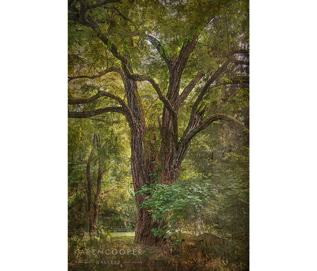 Fine art luxury nature landscape contemporary photography by Karen Cooper Gallery A large, black locust tree with gnarly, overhanging branches and bright, emerald green foliage in Vancouver British Columbia Canada