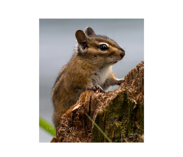 Fine art luxury nature landscape contemporary photography by Karen Cooper Gallery A small, brown chipmunk climbing a tree trunk in a forest in British Columbia Canada