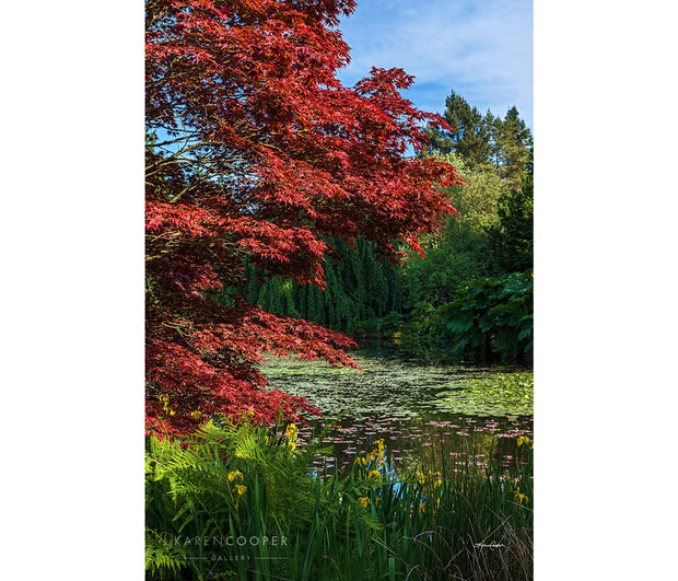 A small, lily pad covered, still pond surrounded by green and red foliage trees overhanging on its shores.