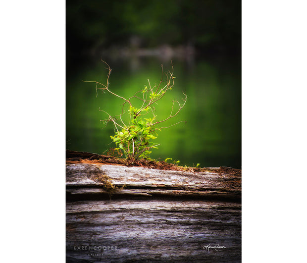 Detail of a small tree seedling on an old, aging long in an old growth rainforest in British Columbia log