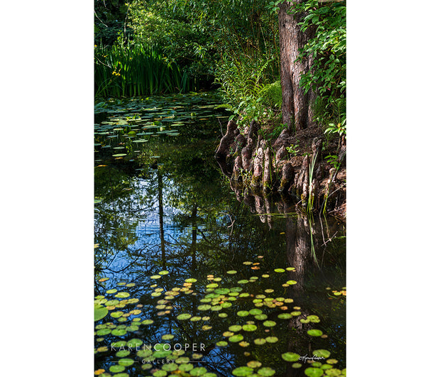 A still pond covered with green and yellow lily pads. Overhanging branches and roots, also reflected in the water in the centre of the pond.