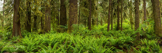 Panorama of rainforest covered in large, bright green ferns. Trees are partially visible, with handing branches and trunks  and covered slightly in moss