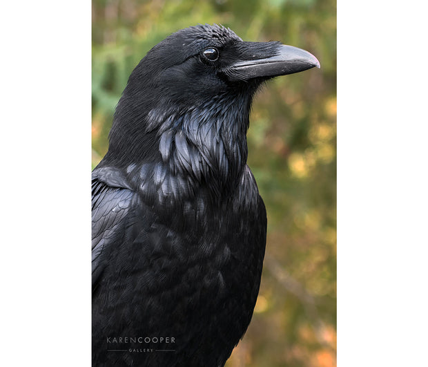 A raven in profile looking to the right, with background out of focus.