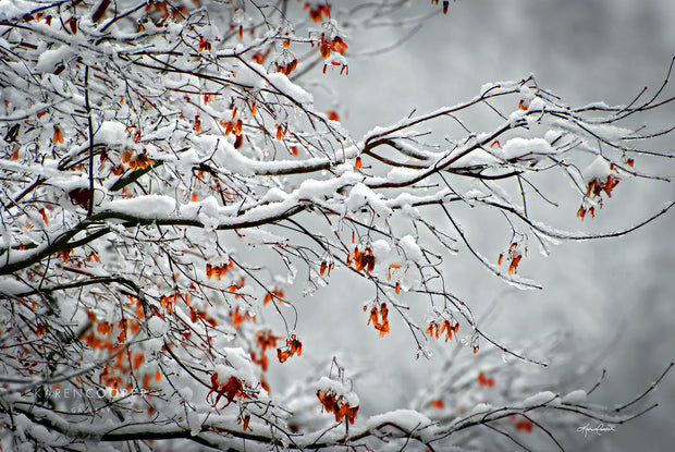 maple tree branches covered in snow with red maple leaves