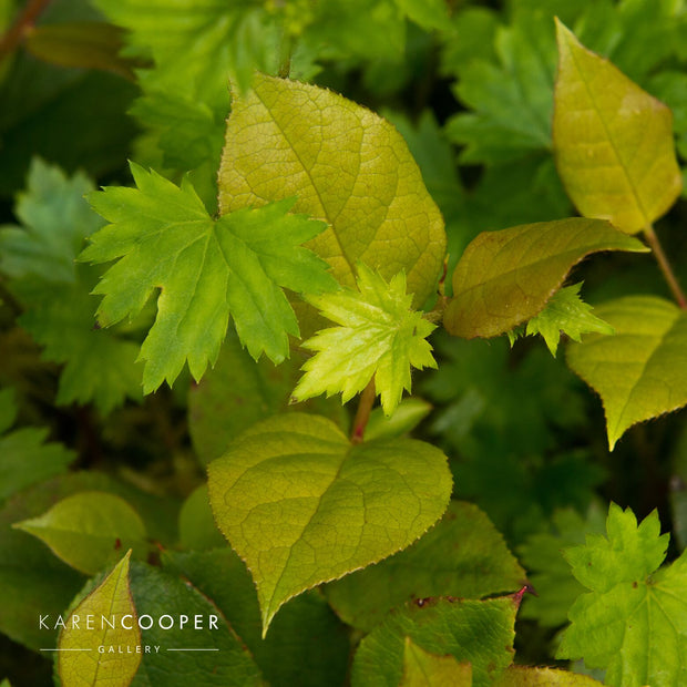 Detail of small green leaves  in a forest in British Columbia