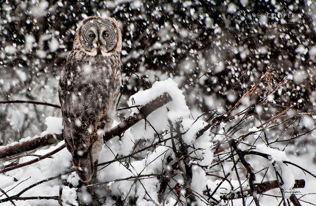 A large great grey owl perched on a snow covered branch during a snowfall