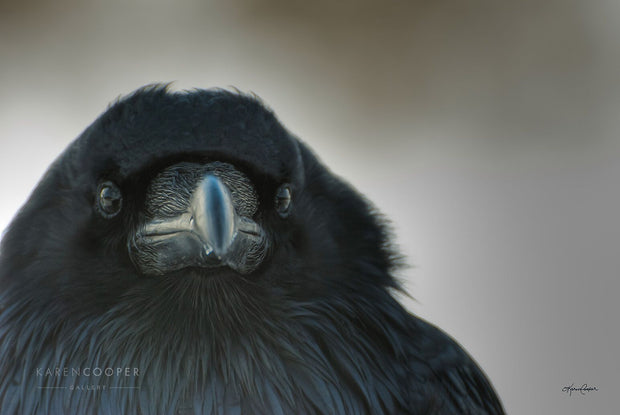 Raven in profile with grey background looking toward the viewer.