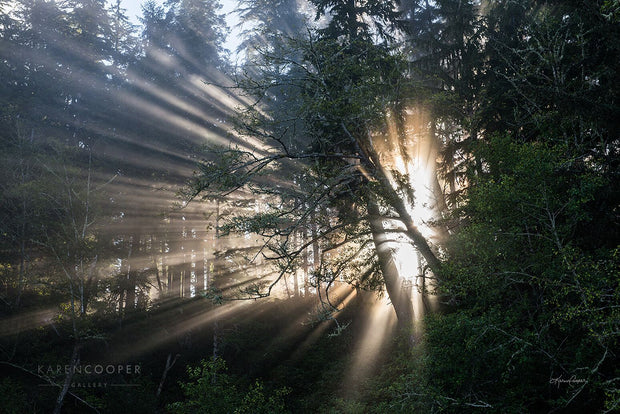 Side profile of marine fog rays coming through the tree's foliage, with a bright, sun-filled centre.