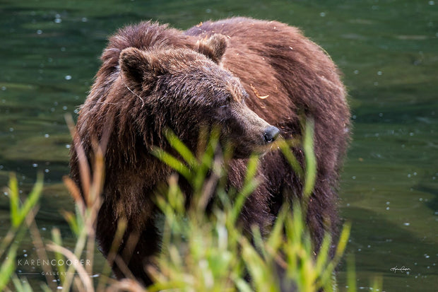 A mother grizzly bear watches over cubs outside of the frame along the shores of the Atnarko river.