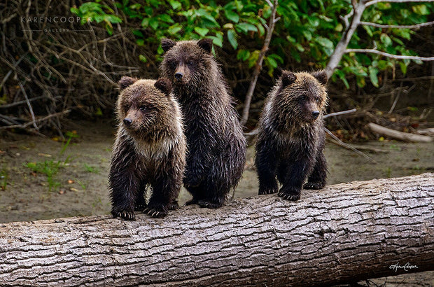 three grizzly bear cubs on a log