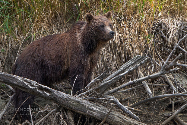 grizzly bear on water edge and logs