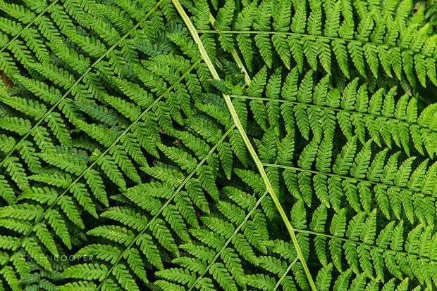 Detail of a vibrant, green fern's foliage