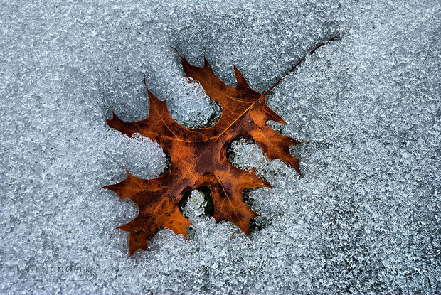 Detail of a single, copper oak leaf against the crystalline snow in winter in British Columbia