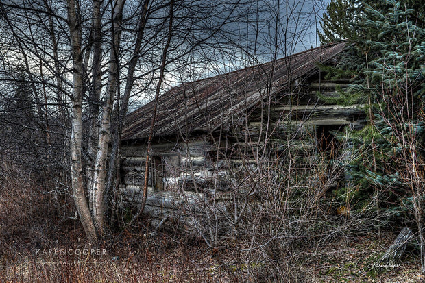 A historical, overgrown log structure surrounded by leafless birch tress and one evergreen