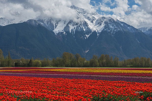 field of multi colored tulips with snowy mountain in background