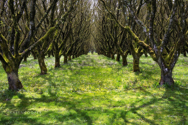 A row of  moss-covered hazelnut trees on a sunny day in an orchard in British Columbia